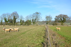 The Outcast! (sgreen757) Tags: uk landscape cotswold cotswolds way long distance foot path footpath autumn 2018 november wotton under edge newark park ozleworth wortley nikon d7000 walk walking black quarries blackquarries hill sheep separated barrow