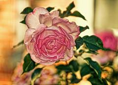 20 ° de rose en novembre - 20 ° of rose in November (p.franche Occupé - Buzzy) Tags: fleur flower macro nature bokeh sony sonyalpha65 dxo photolab bruxelles brussel brussels belgium belgique belgïe europe pfranche pascalfranche schaerbeek schaarbeek rose orange flou hdr pétales jardin feulles leaves vert green pink blur petals garden blume 花 blomst flor פרח virág bunga bláth blóm bloem kwiat цветок kvetina blomma květina ดอกไม้ hoa زهرة