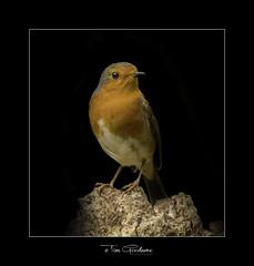 Mr Robin (timgoodacre) Tags: robin robinredbreast bird birds birdportrait birdlife wildbird songbird wildlife wildanimal wild nature ngc outside
