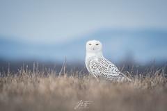Portrait (jlf_photo) Tags: snowy owl harfang des neiges wildlife animal bird oiseau