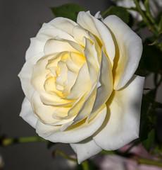 Rose (LuckyMeyer) Tags: flower fleur blume blüte white makro sun light garden rose