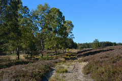 Frühherbst in der Heide / Early fall in heathland (r.stopable1) Tags: heide südheide heathland lüneburgerheide herbst birken birchtrees fall heidelandschaft heathlandscape natur nature natural himmel sky landschaft landscape cellerland eschede starkshorn rebberlah niedersachsen lowersaxony norddeutschland northerngermany path weg naturephotography