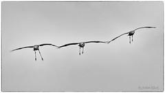 Drei Kraniche (Grus grus) im Formationsflug (AchimOWL) Tags: kranich graukranich natur wildlife outdoor zugvogel nature leicadgelmarit100400mm crane vogel flug fliegen fly tier grusgrus grauerkranich eurasischerkranich ngc gh5 landschaft feld deutschland zingst fischland fauna himmel panasonic