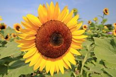 向日葵 sunflower (沐均青) Tags: taiwan taoyuan sunflower landscape scenery travel flower nature park plants colorful blue brown yellow green morning clouds sky summer