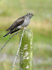 Cuckoo (Cuculus canorus) juvenile (1-spot) (Brian Carruthers-Dublin-Eire) Tags: cuculus canorus cuculiformes cuculidae cuckoo coucou gris kuckuck cuco europeo cuculo eurasiatico koekoek cuach cuculuscanorus coucougris cucoeuropeo cuculoeurasiatico bird wildlife animalia animal aves avian nature spring summer sky tree leaves ants creature rogerstown estuary rogerstownestuary dublin co ireland