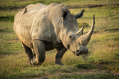 Southern White Rhino.jpg (Darren Berg) Tags: rhino rhinoceros africa kenya nakuru horn endangered sony a7riii 100400