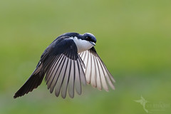 Restless Flycatcher (VS Images) Tags: restlessflycatcher flycatchers monarchidae myiagrainquieta birds bird birding bif birdsinflight feathers flight wildlife wildlifephotography animals avian australianbirds australianwildlife australia nsw nature ngc naturephotography vsimages vassmilevski olympus olympusau olympusinspired getolympus m43 omd
