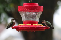 5D2A5054-1 Ruby-throated Hummingbird (John Pohl2011) Tags: canon john pohl bird perching canoneos7dmarkii efs55250mm