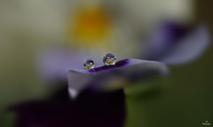 Magic World of Pansy Droplets..... (Piet photography) Tags: droplets macro reflections pansy waterdruppels viooltje