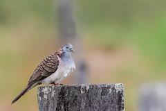 Bar-shouldered Dove (Geopelia humeralis) (Ian Colley Photography) Tags: barshouldereddove geopeliahumeralis daintree queensland bird canoneos7dmarkii ef500mmf4lisusm