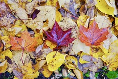 Maple Leafs (docwiththecamera) Tags: leaf maple trio three nature color autumn fall morning
