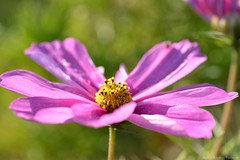 (Sandra Király Pictures) Tags: cosmos cosmosflower flower flowers makro macro natur outdoor autumn