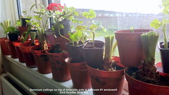 Geranium cuttings on top of Amaryllis pots in bedroom #1 windowsill 23rd October 2018 002 (D@viD_2.011) Tags: geranium cuttings top amaryllis pots bedroom 1 windowsill 23rd october 2018