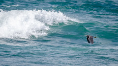 Reef heron (Stefan Marks) Tags: tasmansea animal bird flying heron nature ocean outdoor reefheron wave aucklandwaitakere northisland newzealand nzl