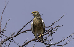 Greater Kestrel, Etosha, Namibia. (sfrancis23) Tags: greater kestrel etosha namibia raptor africa 400mm28fl avian bird birdofprey blue gold golden tree sky beak nikon d850 nikond850
