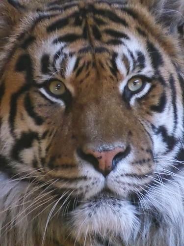 Panthera tigris sumatrae …