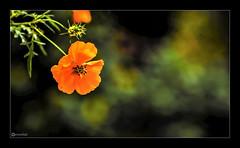"""Who looks outside, dreams; who looks inside, awakes."" _ Carl Jung (Ramalakshmi Rajan) Tags: quotes flowers flower orange nikon nikond750 nikkor24120mm"
