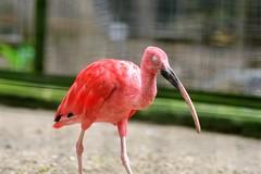 Scarlet -Zombie- Ibis (Arnold Adikrishna) Tags: nikon d7200 nikkor 80200f28ded scarlet ibis bali bird