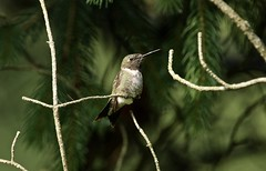 Standing Guard (Diane Marshman) Tags: rubythroated hummingbird small bird green white black brown feathers long beak summer dead tree branch pine perched sitting pa pennsylvania nature wildlife adult mature male