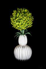Euphorbia (Summername) Tags: flowers nature flora euphorbia botanical canon flickr ocf offcameraflash youngnuo vase ceramic blackbackground stilllife
