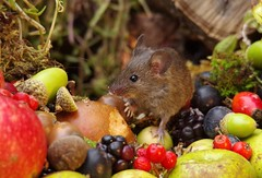 wild house mouse with wild picked fruits nuts and berries Autumn display (3) (Simon Dell Photography) Tags: mouse nature wildife wild free garden mice animal rodent cute funny seasonal autumn fall season winter colors pumpkin conkers horse chestnut fruits berries bounty log pile george house halloween fright night 13th friday fun simon dell photography sheffield s12 hackenthorpe
