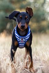 - little sailor - (Kerstin Mielke) Tags: dog puppy pinscher