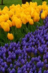 Lavander & Tulips (Jehan Al-Maghamsi) Tags: purple turkey istanbul park yellow tulips lavander
