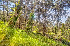 Ivy Covered Trees (Michael F. Nyiri) Tags: kirbycove marincounty trees ivycovered california northerncalifornia