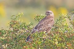 Buzzard (drbut) Tags: buzzard buteobuteo birdofprey hawk trees avian bird birds animal wildlife nature canonef500f4lisusm