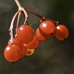 Autumn Color 3 (chauvin.bill) Tags: berries tamron squareformat