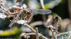 0T4A9823 (2) (Alinbidford) Tags: alancurtis brandonmarsh dragonfly nature wildlife