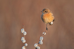 stonechat (leonardo manetti) Tags: uccello bird nature red winter colours naturephotography field natural nikkor countryside green morning black stonechat dawn sunrise backlight macro legno cielo