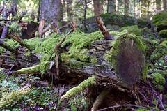 Bosc a l'Alt Àneu, Pallars Sobirà, Catalunya. (heraldeixample) Tags: albertdelahoz heraldeixample bcn son sondepi altaneu aneu pallars pirineu pirineo pyrenees spain espanya españa spanien catalunya catalonia cataluña catalogne catalogna bosc forest bosque forêt wald foresta skov floresta ngc