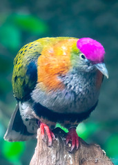 Pink Rinse (JKmedia) Tags: pink pigeon boultonphotography chesterzoo bird avian 2018