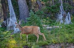 Walk into the light (Pejasar) Tags: deer light forest colorado rockymountainnationalpark