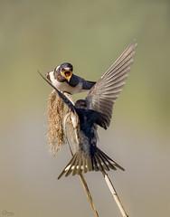 Pelea golondrinas comunes (Antonio Lorenzo Terrés) Tags: golondrinas comunes aves migratorias birds pájaros fauna naturaleza lucha nature