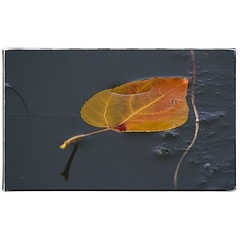 Leaf in partially frozen water. #photography #photooftheday #photoadaychallenge #canon7d #sigma150600 #nature #opcmag #project365 #yyc #calgary #autumn #fallcolors #pond #water #leaf (PSKornak) Tags: photography photooftheday photoadaychallenge canon7d sigma150600 nature opcmag project365 yyc calgary autumn fallcolors pond water leaf