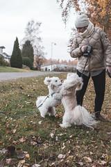 Happy to see you (tsipilai) Tags: dog cotondetulear coton nikon sigma 30mm14 d7200