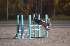 DSC_0320 (klawerjanina) Tags: bunnyjump bunny kani kaniestekisat kanin kaninhoppning