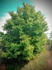Arce campestre o menor (Acer campestre) (quintanAopio) Tags: árbol silvestre caderechas bureba burgos autóctono