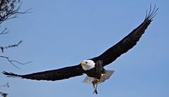 Fish....its what's for dinner (David Sebben) Tags: bald eagle nature bird fish mississippi river iowa dinner
