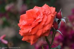 Rose orange grande (Mamyarason) Tags: jardindelise rose antananarivo madagascar mamyramiarason nikond750 proxy