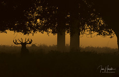 Red deer (Ian howells wildlife photography) Tags: ianhowells ianhowellswildlifephotography nature naturephotography nationalgeographic canon canonuk wildlife wildlifephotography wild red deer sunrise