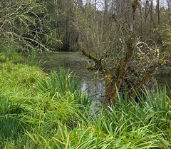 Soos Creek Wetland (ScottElliottSmithson) Tags: dtwpuck iphone water grass river tree wetland creek scottelliottsmithson scottsmithson washingtonstate nature landscape pacificnorthwest kent kingcounty