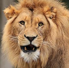 african lion Duisburg 094A1270 (j.a.kok) Tags: leeuw lion africa animal afrika afrikaanseleeuw africanlion mammal predator cat kat zoogdier dier tsavo duisburg
