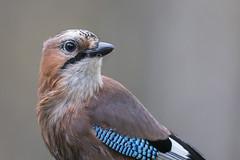 Eurasian Jay (www.finnature.com) Tags: kaivos kuvausjärjestely närhi ruokinta ruokintaautomaatti ruokintapaikka ruska ruskanvärit syyskuu2016