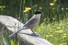 DSC_5840 (P2 New) Tags: 2018 animaux corvidae date espagne extremadura mai oiseaux passériformes pays piebleue