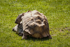 turtle-style (thestreetphotograph) Tags: fujixt2 xc50230 zooaugsburg lightroom turtle sex