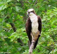 Osprey (Lois McNaught) Tags: osprey bird birdofprey avian nature wildlife hamilton ontario canada