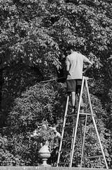 Coiffeur pour arbres (jardin du Luxembourg) (letexierpatrick) Tags: paris france europe extérieur explore noirblanc noir blanc black white bw jardin garden arbres street